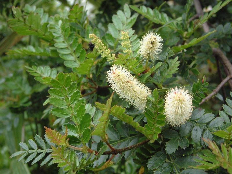 Solander s name and description of the new plant, Weinmannia silvicola, was eventually published by Alan Cunningham in 1839 4 along with other plants which the latter collected in the North Island of