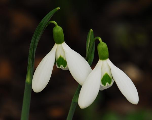 Quite a few years back, Dr. Molly Sanderson was visiting and, as they walked the garden, she took note of one snowdrop which was quite distinct, a double snowdrop with very deep green colouration.