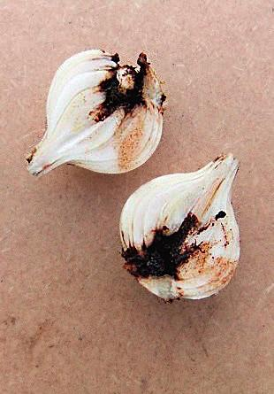 Below, the interior of a mummified bulb. Three bulbs of Galanthus elwesii Kinn McIntosh lifted in mid-december. This cultivar flowers early, often in November.