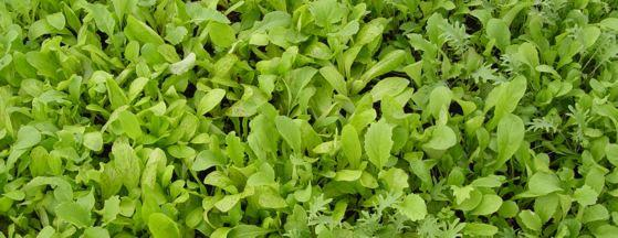 Keep cutting your fall-sown spinach and greens to ensure longer