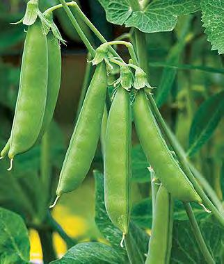 Cool Season Legumes: Garden Peas (Can be