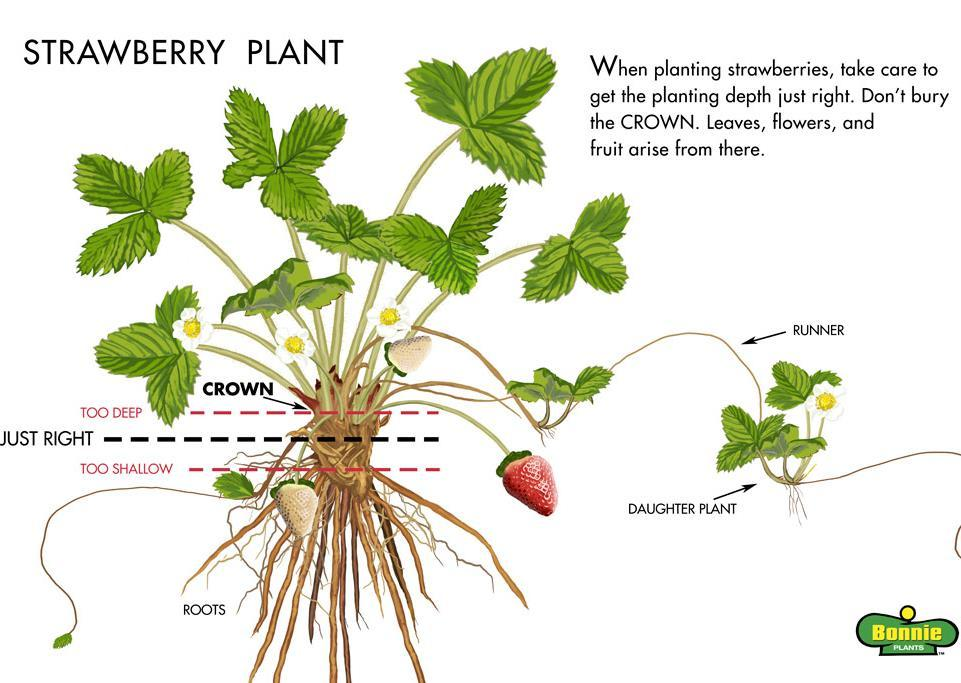 Strawberry Transplant into garden Plant crown at soil line Second week of May 4 ft between rows 2 ft