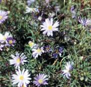 20 Sustainable Gardening in the Shire of Melton Cut-leaf Daisy (Brachyscome multifida)