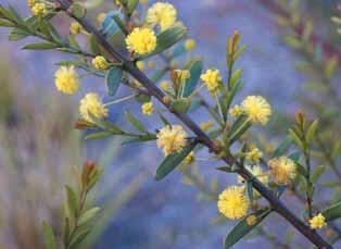 Gold Dust Wattle (Acacia acinacea) Requirements: Full/semi sun;