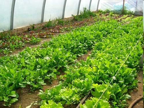 Basics of Plant Growth in Greenhouses: Temperature,