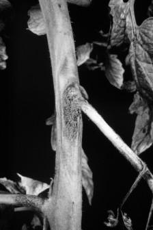 Figure 6. Gray-mold rot on carrot. - 3 - elongated with distinct margins, or they may spread throughout the stem.
