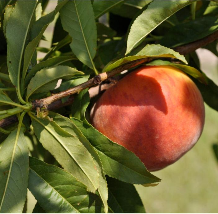 Central Florida Youth Peach Tree Growing Contest UF/IFAS Polk County Extension Service 1702 US Hwy 17-98 South P.O.