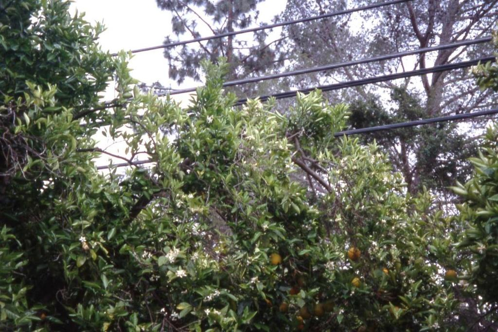 Understanding Citrus Growth Each layer of branches lays on top of the