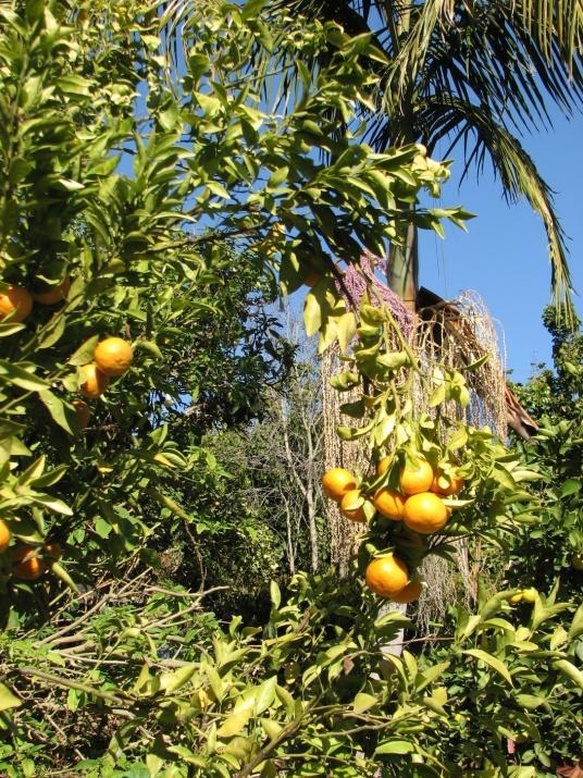 Understanding Citrus Growth Most citrus varieties are tip bearers, producing flowers and fruit on new growth which is produced off of one year old growth.
