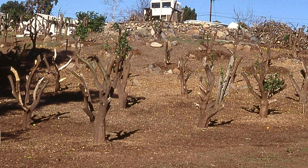 Sunscald or Sunburn The thin bark of citrus trees is easily damaged or