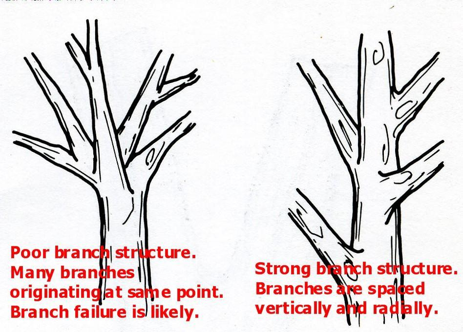 REASONS TO PRUNE Pruning for structural strength is especially important on fruit trees.