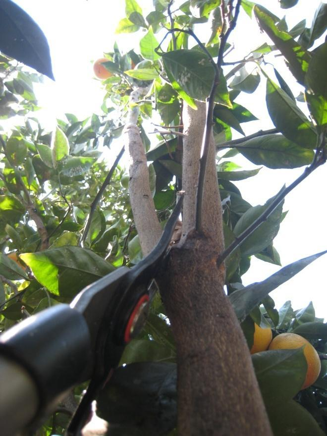REASONS TO PRUNE Size To control tree size, citrus trees should be pruned using thinning cuts and drop-crotch pruning techniques.