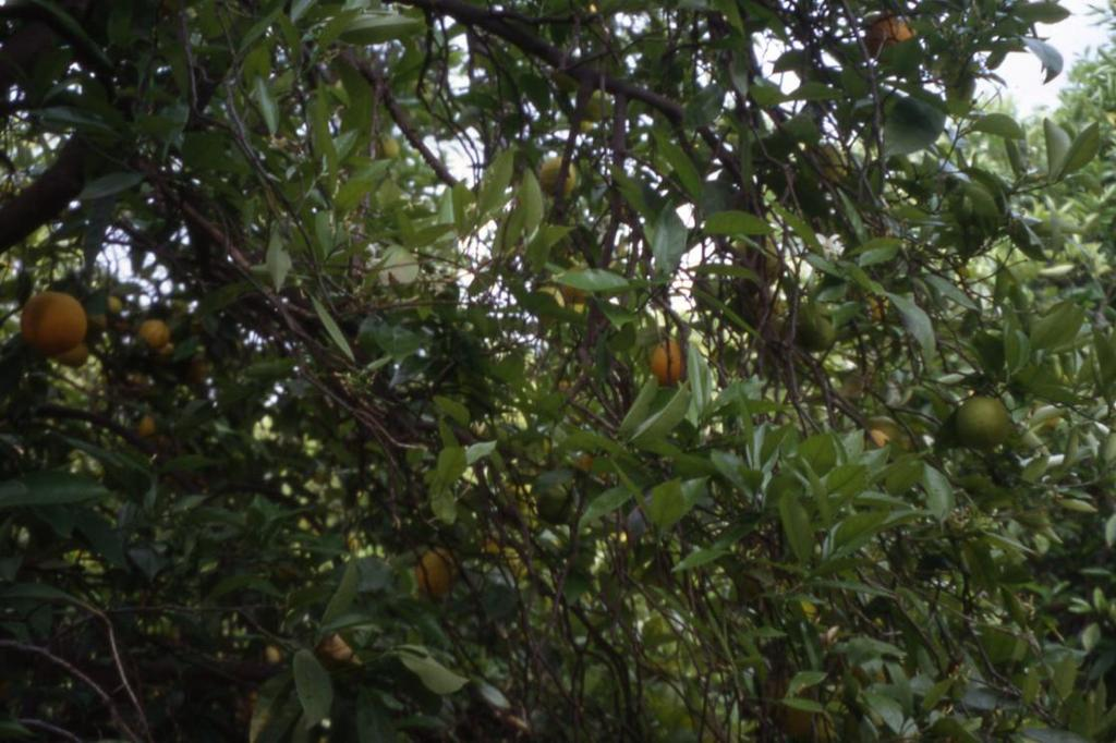 A Systematic Approach to Pruning Citrus Step 3: If branches are growing vertically and are crossing limbs which are growing above them or are crowding nearby branches, drop-crotch, train, or remove
