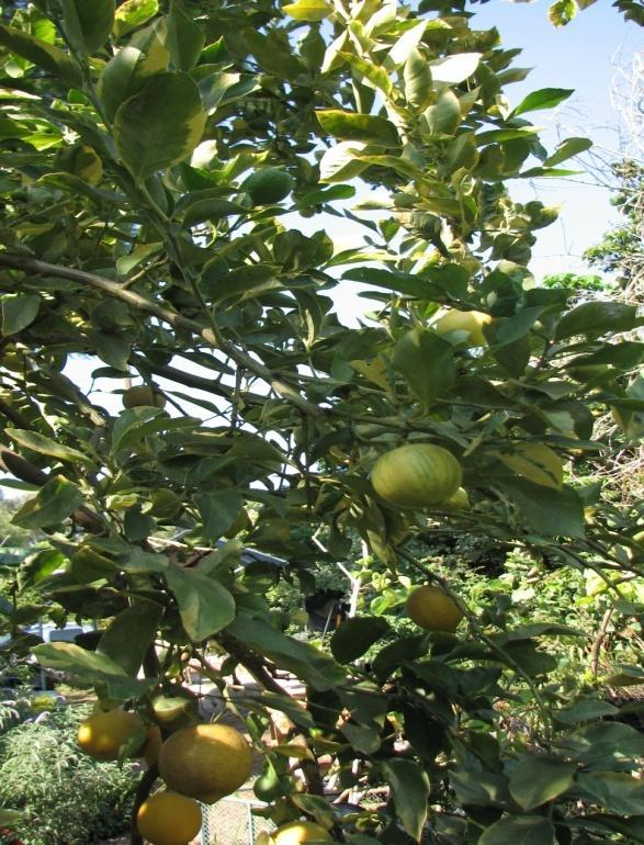 A Systematic Approach to Pruning Citrus Step 4: Direct or Redirect growth When branches are pulled downward by the