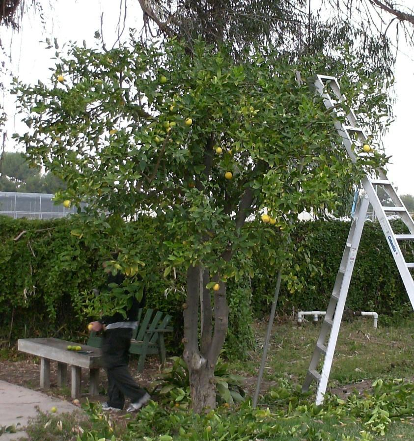A Systematic Approach to Pruning Citrus Size and Width Reduction : Always prune to reduce the size of a tree by using
