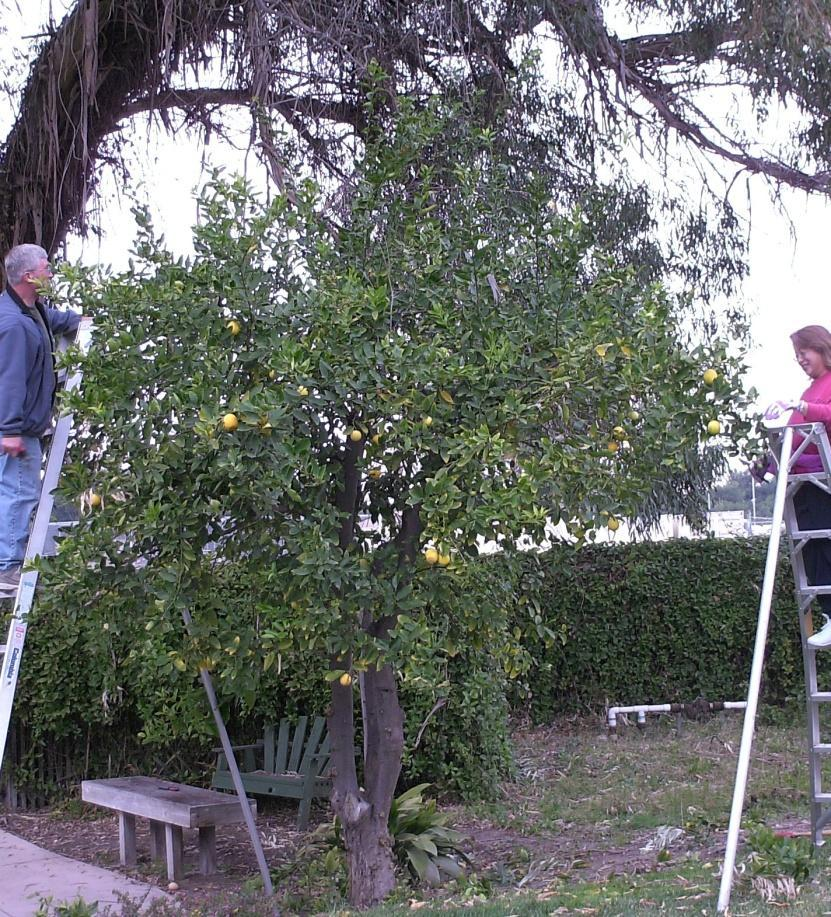 As you prune off the tallest, outermost canopy of the tree there will be less to prune on the lower layers.