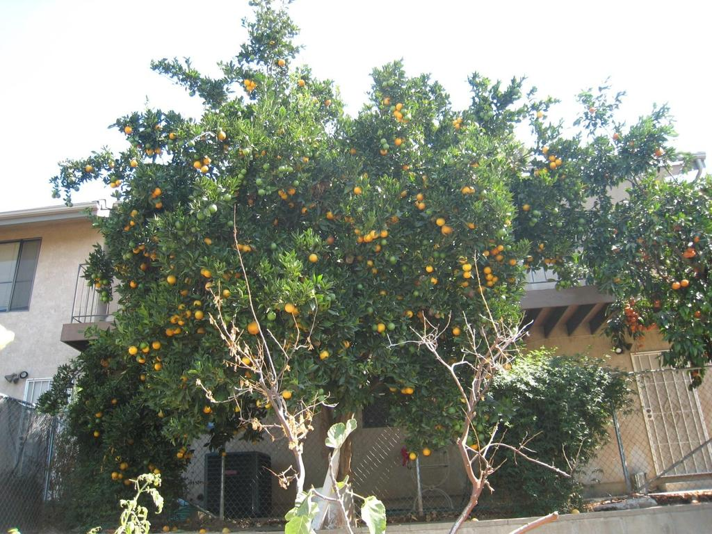 A Systematic Approach to Pruning Citrus Size and Width Reduction : When reducing the size of a