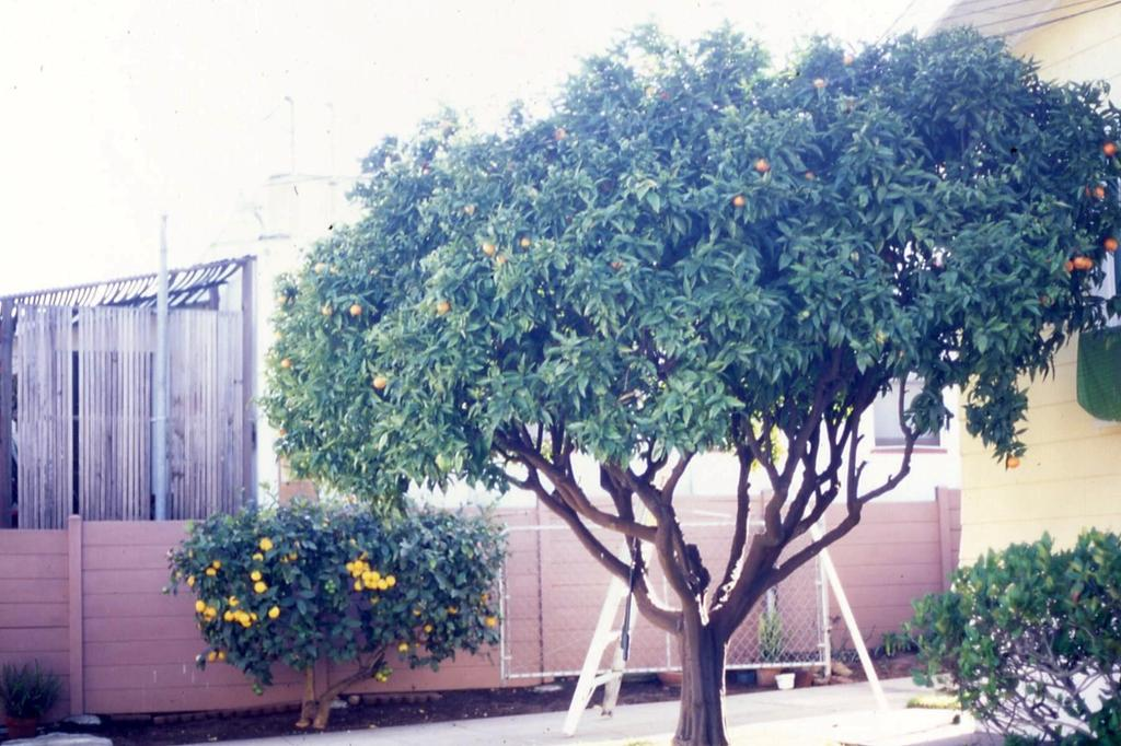A Systematic Approach to Pruning Citrus Reducing a tree by more than 30% Although it is possible to successfully reduce the size of a citrus tree by as much as 40% at one time, this should be done