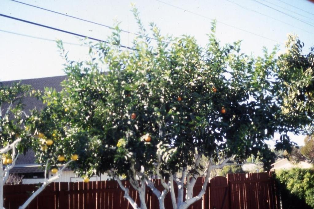 A Systematic Approach to Pruning Citrus Maintaining a tree s size Yearly