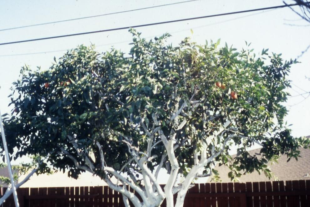 citrus tree at a desired height or width with minimal loss of fruit or