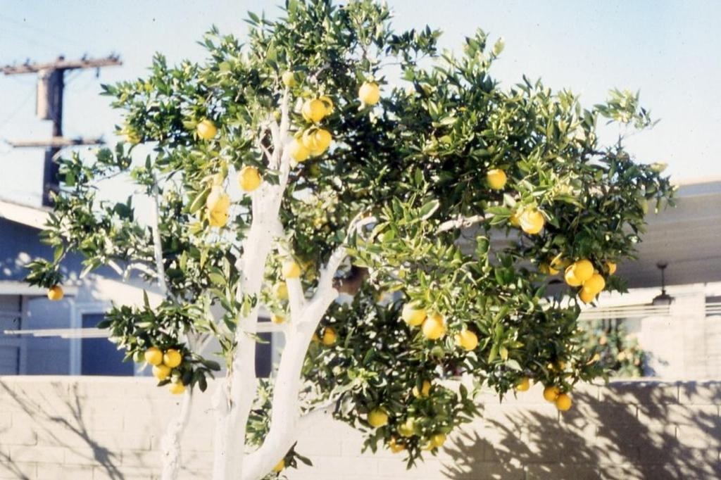 A Systematic Approach to Pruning Citrus Following these principles can also help restore