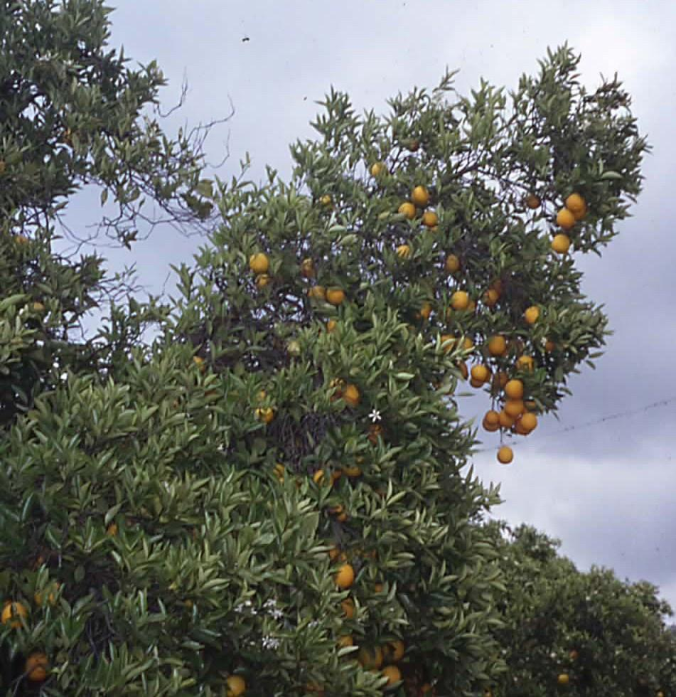 Understanding Citrus Growth As leaves, flowers or fruit form on vertical branches, the weight