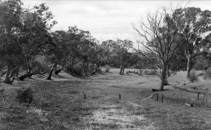 The Banyule Billabong was the main focus. It was then a large open stretch of water, full of water birds when full, with scattered large River Red Gums and one or two Swamp Gums on its banks.