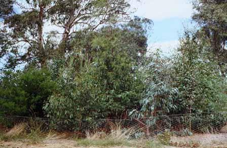 8 Warringal Conservation Society at Banyule Flats 1991 - Megaplanting clump all made excellent growth (Photo A.M. Fleming) On 1 st November 1991, the Yarra Trail opened from Banksia Street to Eltham.
