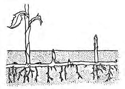 A stolon is a horizontal stem that is fleshy or semi-woody and lies along the top of the ground. Strawberry runners are examples of stolons. Remember, all stems have nodes and buds or leaves.