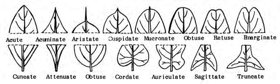 Figure 2.16. Leaf shapes. Figure 2.17. Arrangement of leaves on a stem.