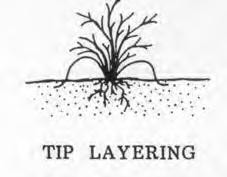 This method of vegetative propagation, called layering, promotes a high success rate because it prevents the water stress and carbohydrate shortage that plague cuttings.