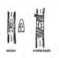 It is especially useful when scion material is limited. It is also faster and forms a stronger union than grafting. Patch budding Plants with thick bark should be patch budded.