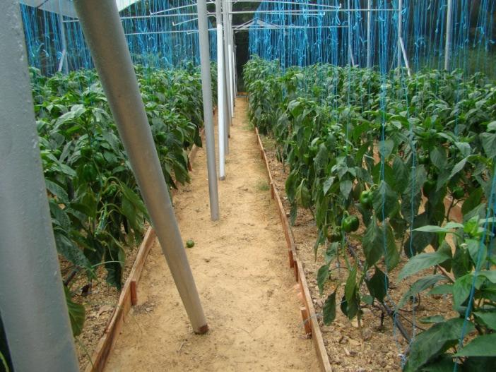 Greenhouse Production In T&T, crops are grown on raised or framed beds