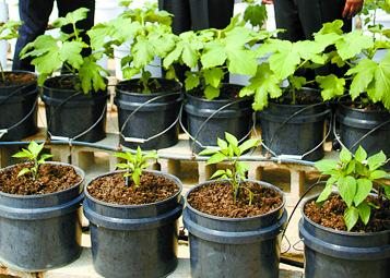 Greenhouse Production Crops are also grown in bags or pots with
