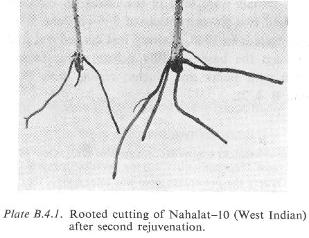 "In order to study the role of leaves in the rejuvenation process, vegetative ""young"" Northrop cuttings were grafted on five-month-old seedlings of the same variety."