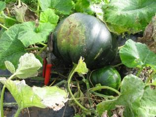 squash in the polytunnel had spread over the neighbouring Dudhi crop to a