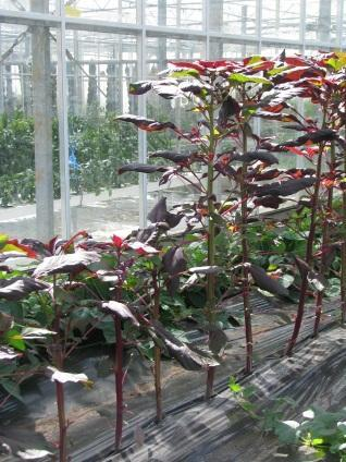 There were no field treatments Plant health The greenhouse became infested with thrips which affected the more mature leaves of amaranth. Otherwise the crop was trouble free.