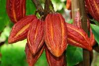 Crillo trees are not as hardy and produce softer red pods, containing 20-30 white, ivory or very pale purple beans.