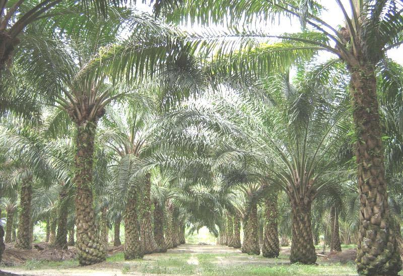 OIL PALM (Elaeis guineensis, Palmae) The oil palm tree is a tropical plant which commonly grows in warm climates at altitudes of less than 1,600 feet above sea level. The species, Elaeis oleifera (H.