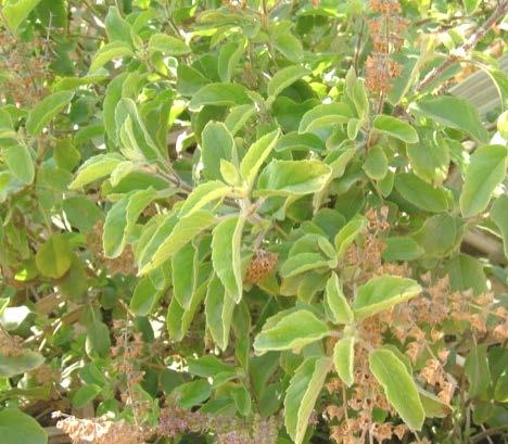 Plant Profile Family English name Indian name Species and Varieties Distribution Uses OCIMUM : Lamiaceae: Labiatae : Sacred Basi, Holy Basil : Ajaka,Manjari (Sanskrit),Tulsi(Hindi),Thulasi (Tamil) :