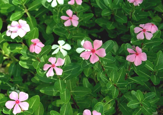 PERIWINKLE Periwinkle (Catharanthus roseus (L) G.