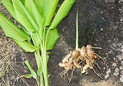 GINGER Ginger: Zingiber officinale Rosc Family: Zingiberaceae Ginger is a herbaceous perennial, the rhizomes of which are used as a spice.