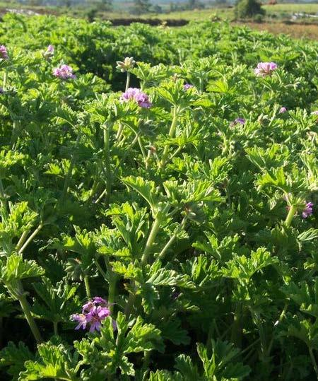 Plant Profile Family English name Indian name Species and Varieties Distribution Uses GERANIUM : Geraniaceae : Geranium : Geranium (Hindi), Pannirsoppur, Pannir patre (Kannada), Geranium (Tamil) :
