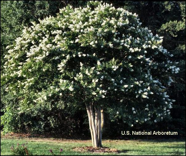 Page 4 Spotlight: Crape Myrtle For years mountain gardeners have yearned for a great summer blooming tree like crape myrtles (Lagerstromia indica).