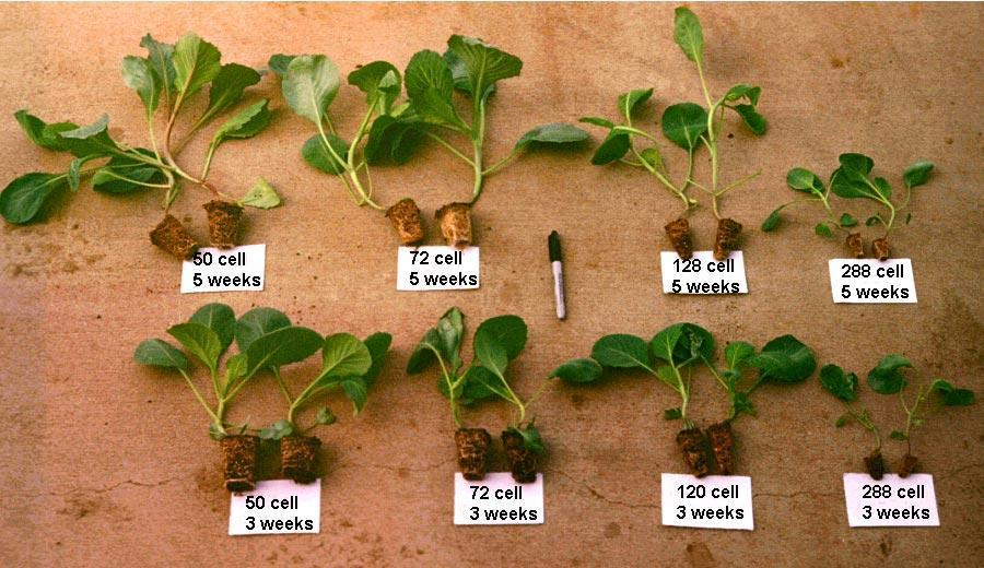 Growing Time and Cell Size Impact Transplants: Growing Container on Cabbage Transplants Appropriate size is