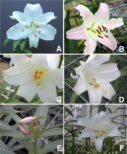Fig. 4. Flowers of plants derived from embryogenic calli of Oriental lily and L. longiflorium hybrids.