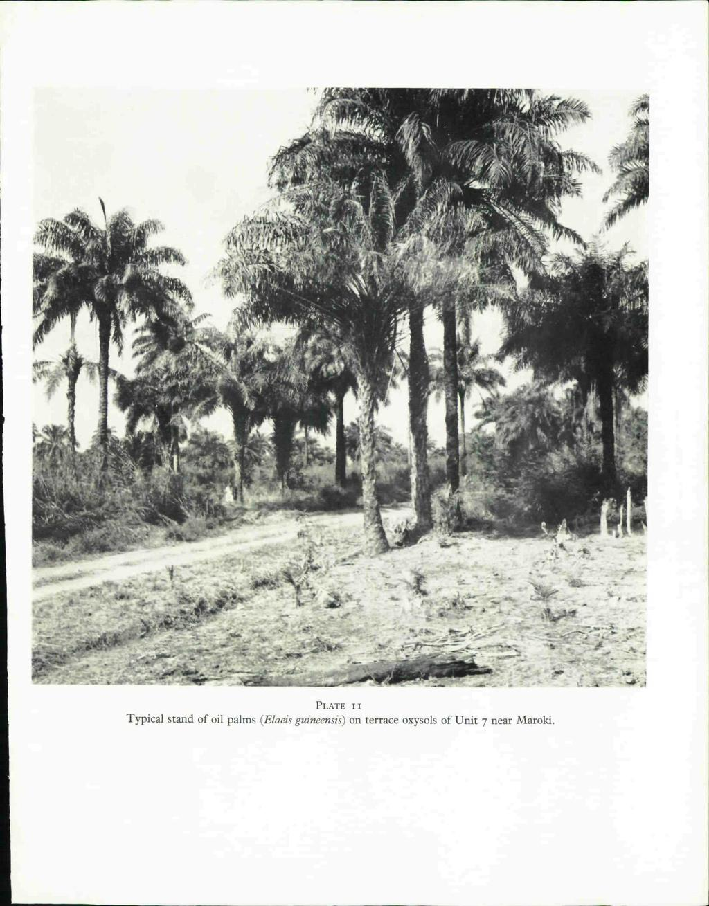 PLATE II Typical stand of oil palms (Elaeis