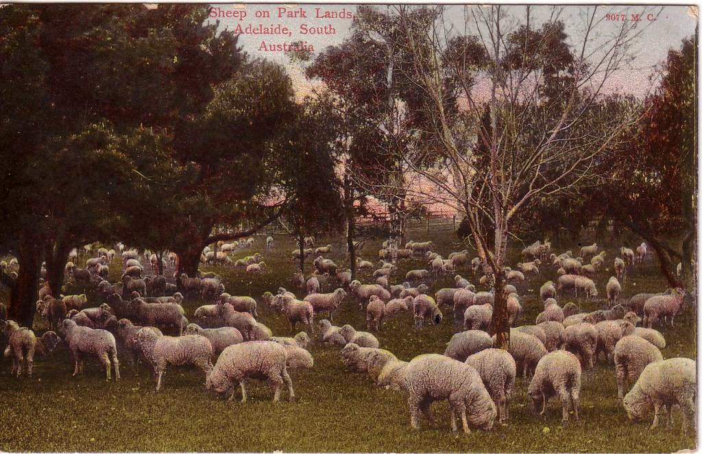 6.0 RECOMMENDATIONS Figure Tinted postcard entitled Sheep on Park Lands being a scene in the Light s Vision Paddock locality in Tarndanya Womma/Park 26