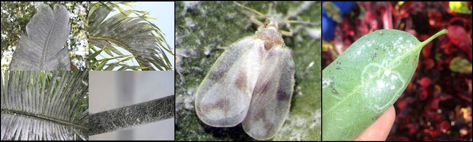 NEWSLETTER SEPTEMBER 2018 WHITEFLIES A-SPIRALIN! The Rugose Spiraling Whitely (Aleurodicus rugioperculatus), or RSW, made its debut in the U.S. in 2009, wreaking havoc on Gumbo Limbo trees in Miami-Dade County.