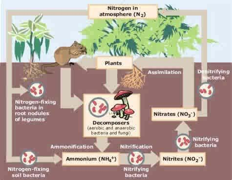 Nitrogen Nitrogen under goes a cycle in environment N is essential building block of plants.